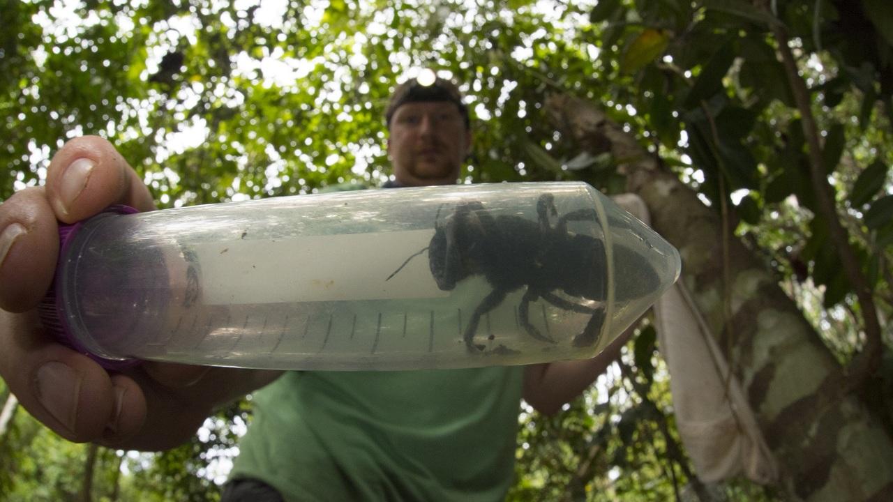 Её искали почти 40 лет: крупнейшая в мире пчела найдена в Индонезии