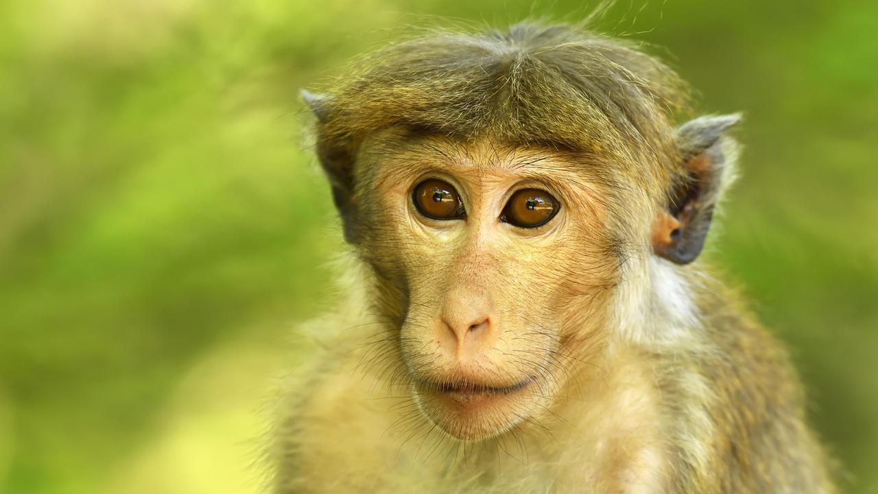 Искусственный интеллект позволил управлять мозгом обезьян на уровне одного нейрона