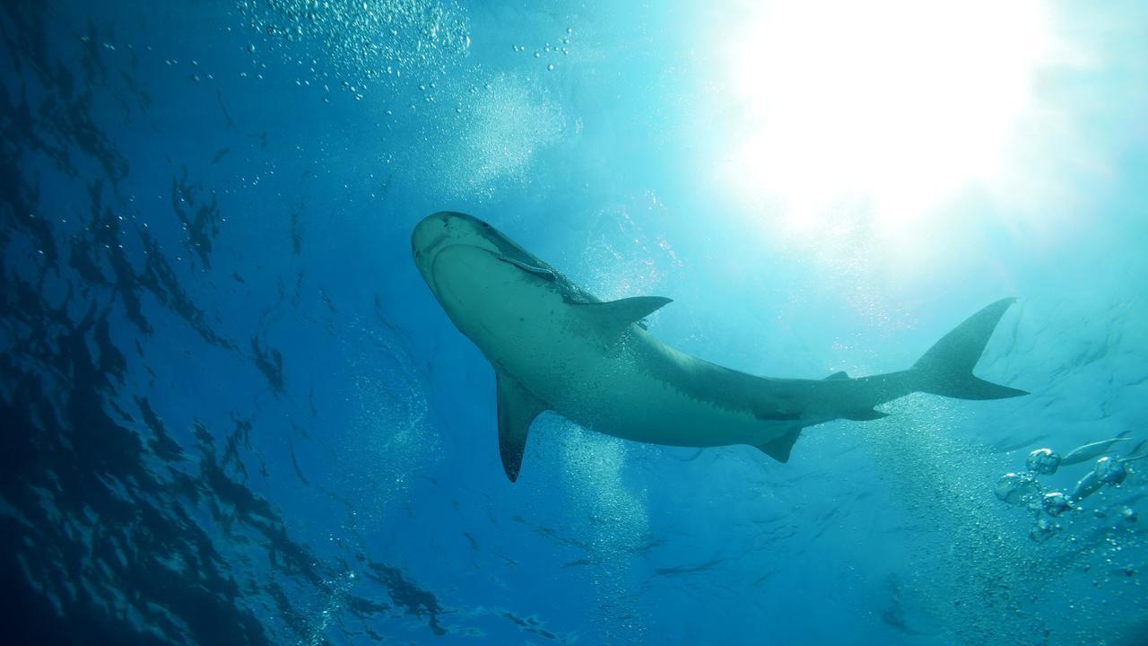 Прямо с небес: учёные нашли неожиданный источник пищи у детёнышей тигровых акул