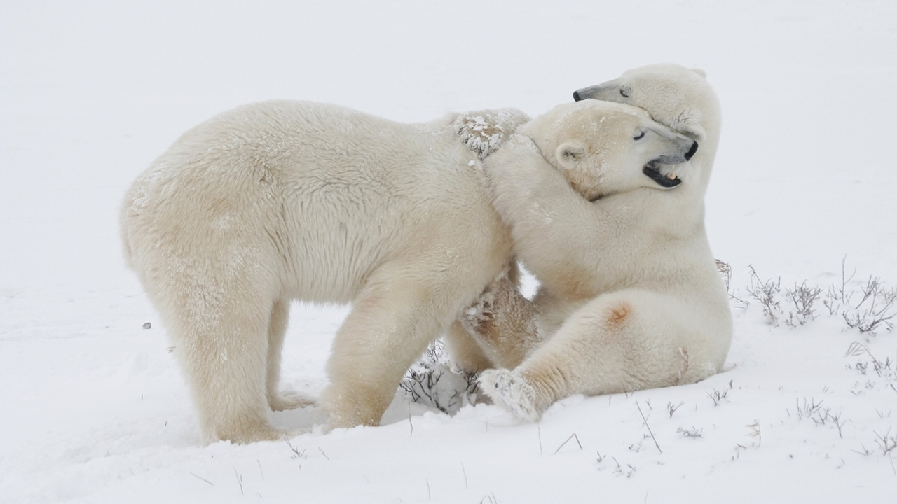 Шаблон инженерной мечты: создан теплоизолятор, вдохновлённый шерстью белого медведя