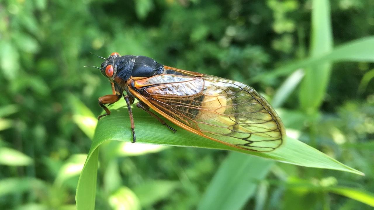 Грибы-паразиты превращают цикад в секс-зомби с отмершими гениталиями