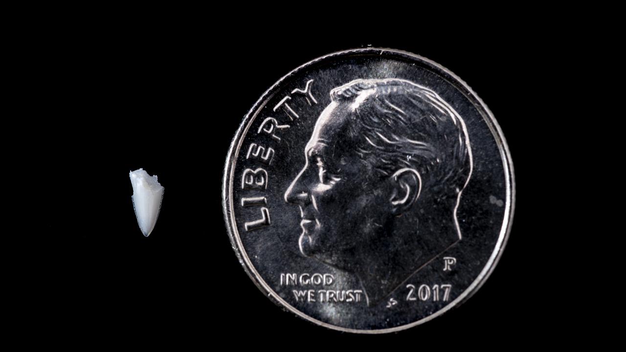Зуб, застрявший в ноге сёрфера, помог разгадать тайну укуса 25-летней давности