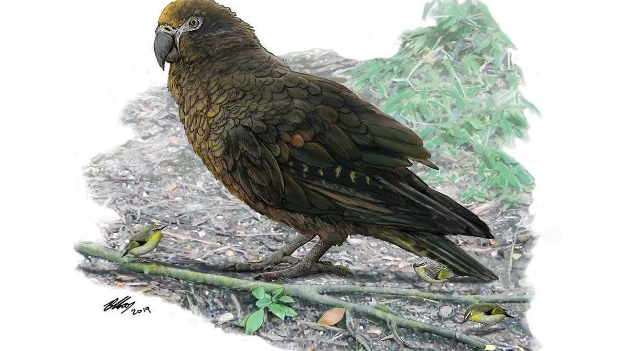 Неожиданный Геракл: в Новой Зеландии найдены останки вымершего попугая-гиганта