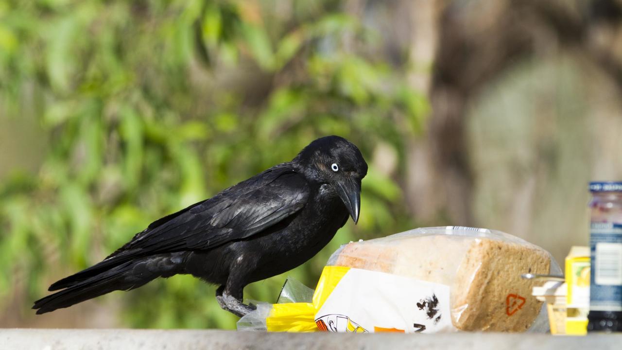 Хорошо или плохо? Городские вороны имеют более высокий уровень холестерина