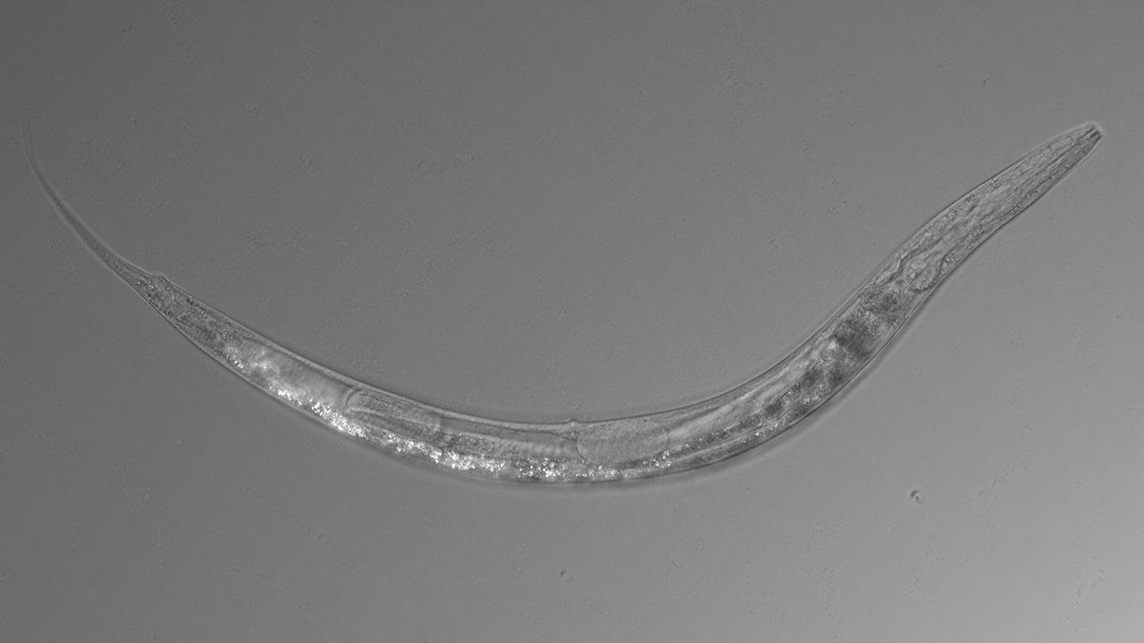 Три пола и устойчивость к мышьяку: в США обнаружены странные черви-экстремофилы