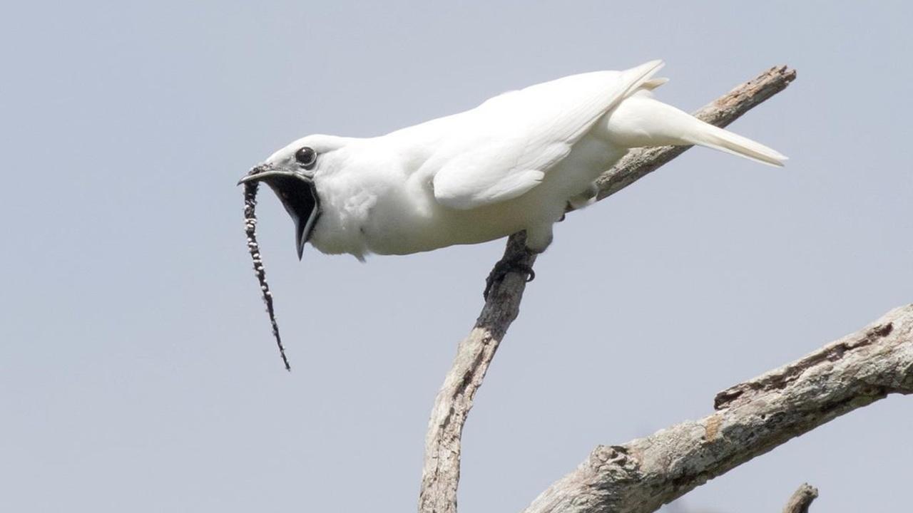 Самая громкая в мире птица способна оглушить человека