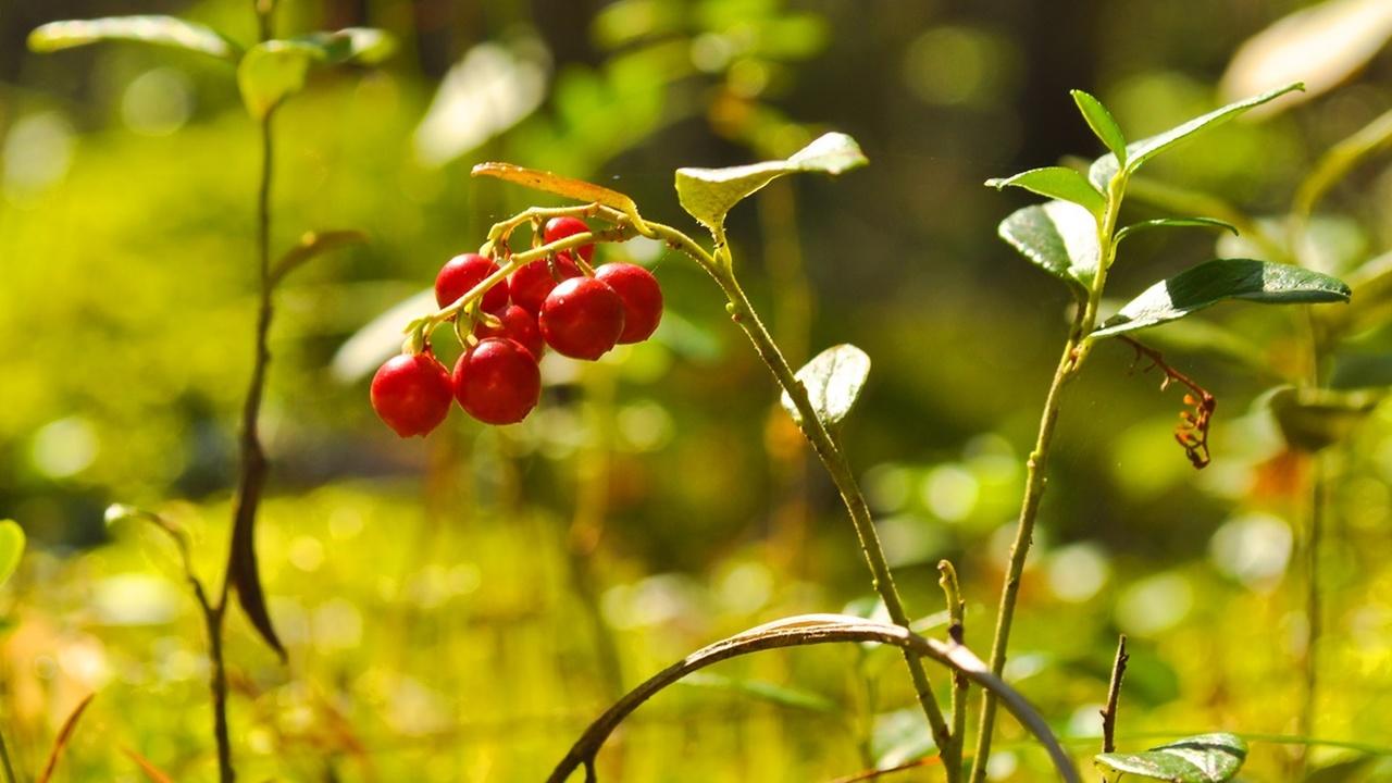 Клюква, хмель, арахис и чай оказались природными ГМО