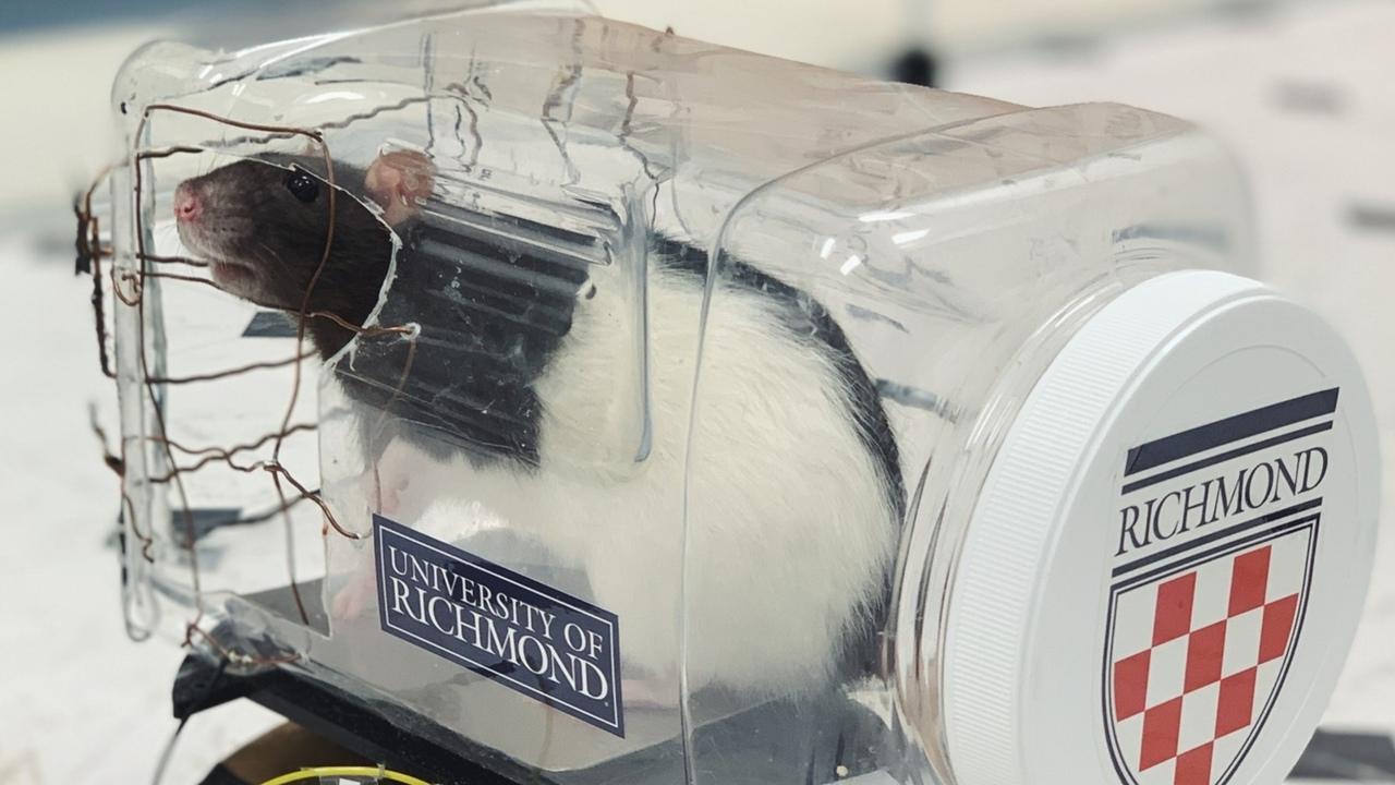 Крысы научились водить автомобили, и это помогло им снять стресс