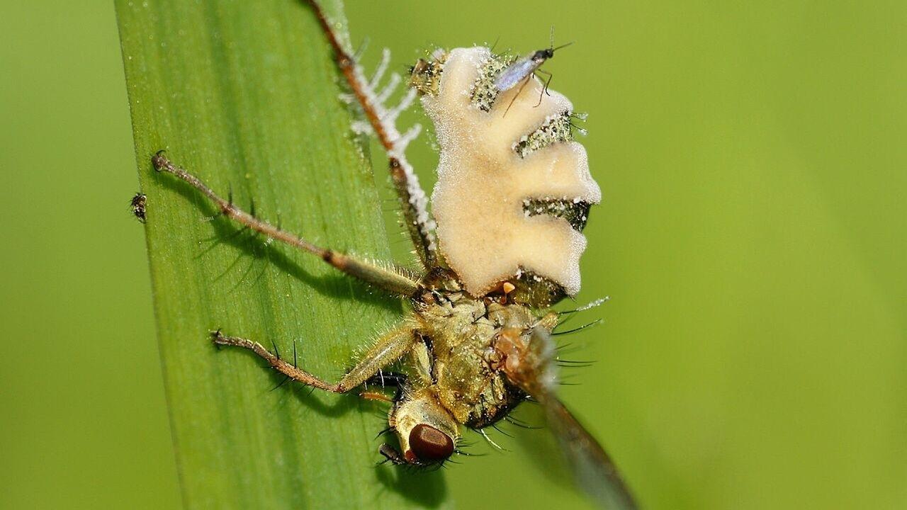Жуткий паразитический гриб превращает своего хозяина в пушку