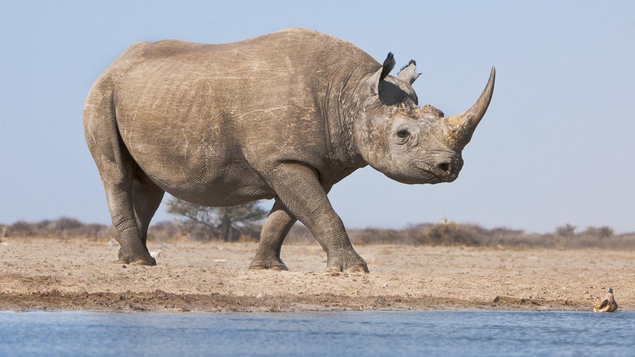 Учёные начали подделывать рога носорогов, чтобы спасти животных от вымирания