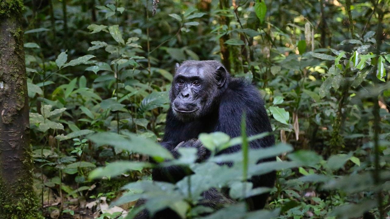 Настоящая рок-музыка: шимпанзе бросают камни в деревья не просто так