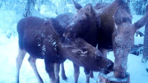 Видео из Сети. Громко чавкают: на Урале завтрак лосей попал на видео