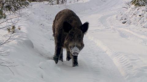 Вести-Рязань. Актуальная тема 22.01.2021 -  Учет диких зверей