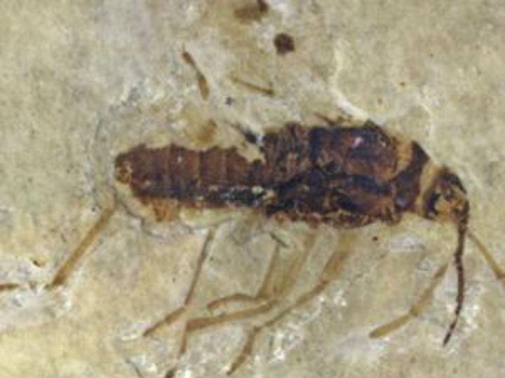 Окаменелость одного из клопов, вероятно, питавшихся кровью динозавров