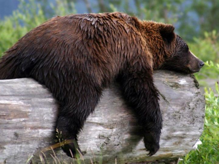В октябре медведи гризли больше всего напоминают пациентов с ожирением