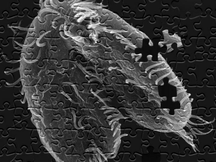 Одноклеточные организмы O. trifallax обитают в прудах на поверхности водорослей и умеет пересобирать свой геном, словно мозаику