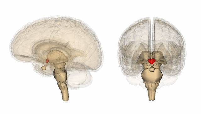 Гипоталамус ≈ небольшая зона головного мозга, отвечающая за производство половых гормонов и регуляцию репродуктивной функции