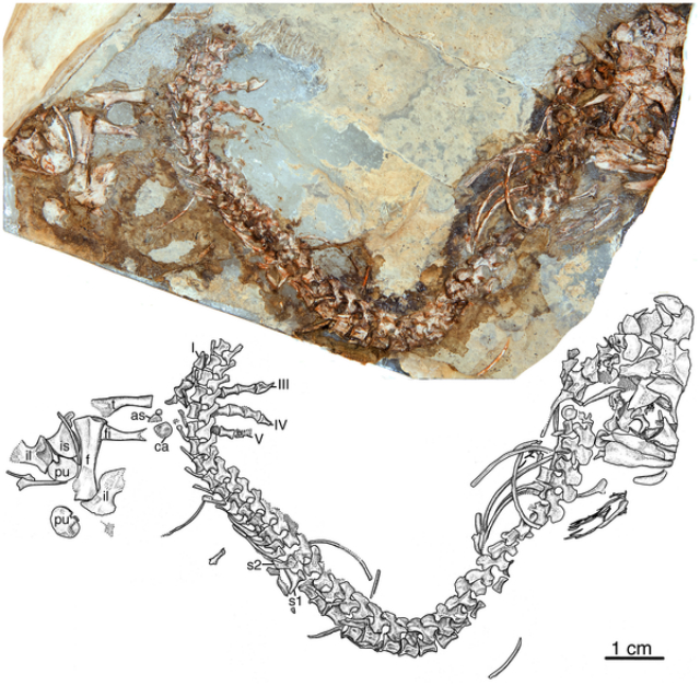 Скелет представителя вида Eocasea martinis