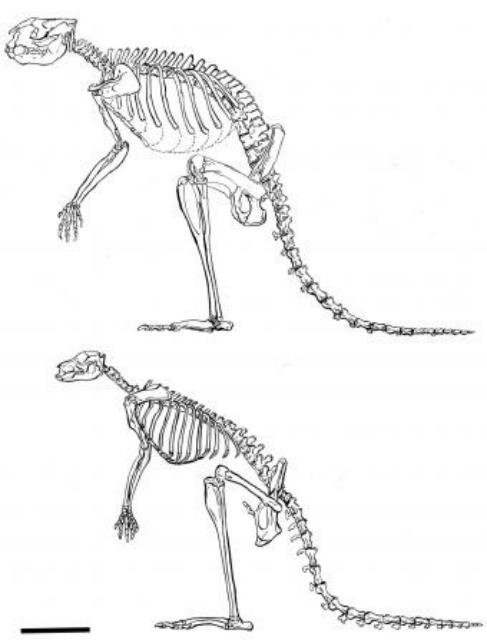 Скелет представителя рода Sthenurus (сверху) и скелет современного кенгуру