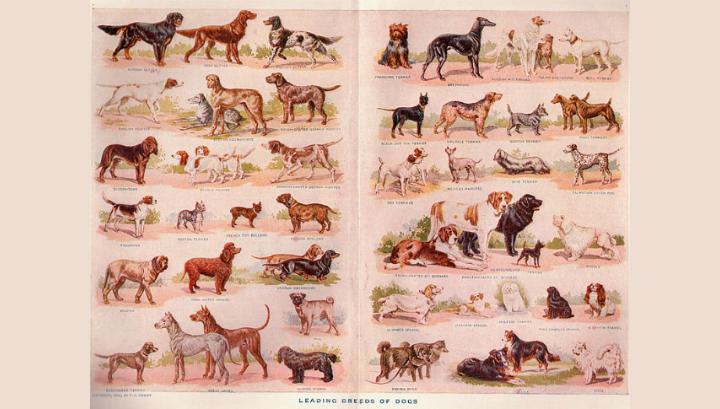 Иллюстрация различных пород собак. Нью-Йорк, 1911 год