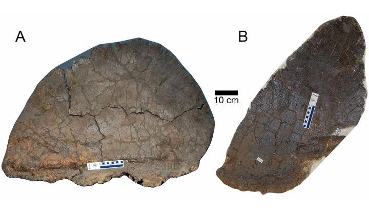 Два типа спинных пластин стегозавров