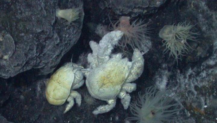 Самки этого вида крабов существенно уступают самцам в размере