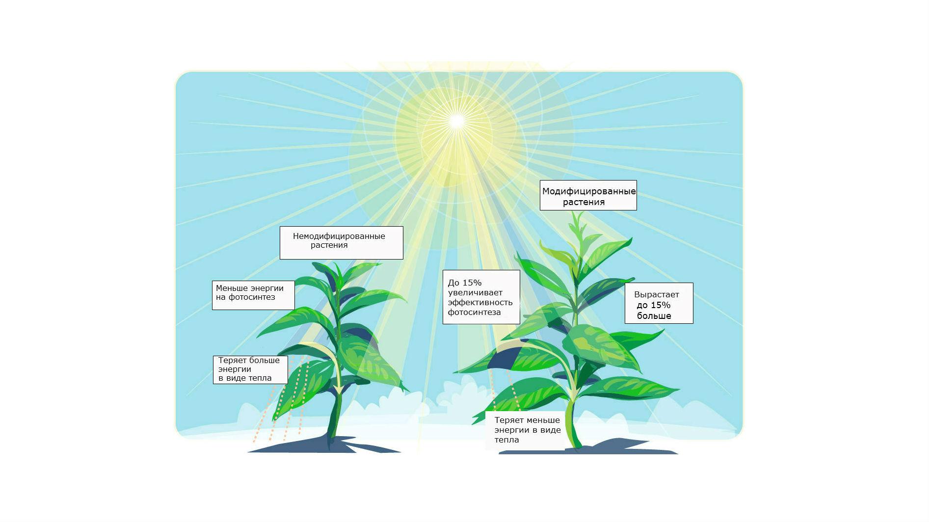 Компьютерные модели предсказали, что генетически модифицированные растения могут лучше использовать ограниченный солнечный свет. Например, когда листья находятся в тени соседей.