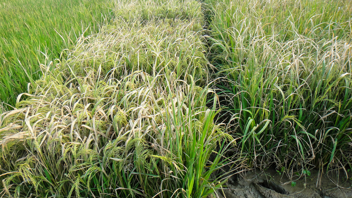 Рисовое поле, поражённое болезнью, с которой теперь растения могут успешно справляться.