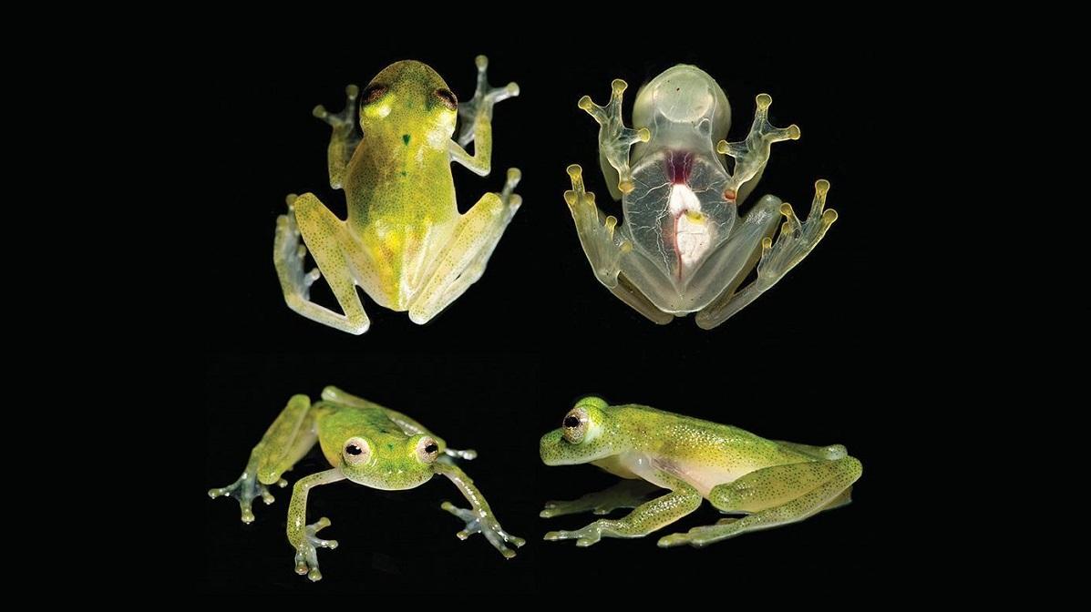 Прозрачная кожа на груди и животе позволяет рассмотреть не только почки и мочевой пузырь, но и сердце лягушек.