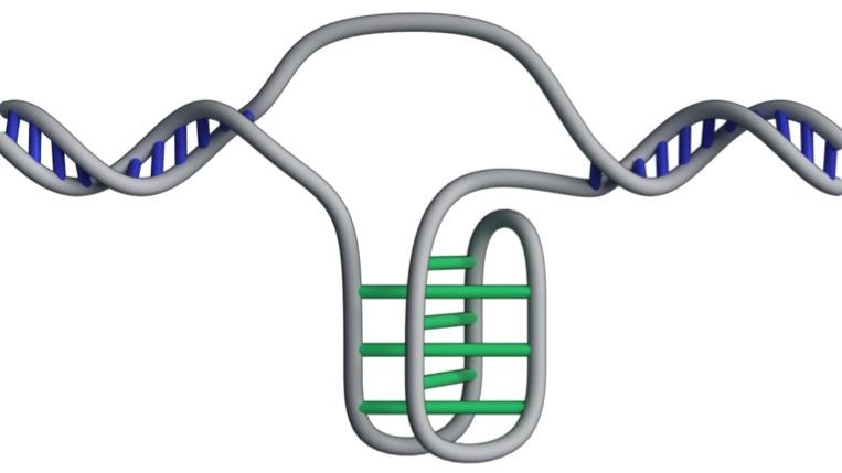 """Есть предположение, что """"узловатая"""" ДНК помогает включать и отключать гены, а также влияет на то, насколько активно идёт считка генетической информации."""