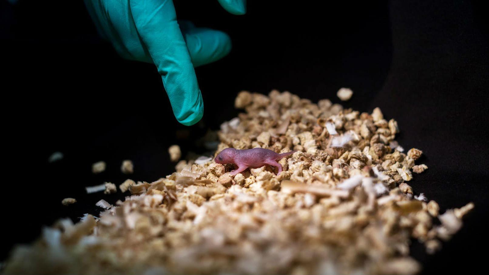 Мышонок, носящий в себе генетическую информацию от двух генетических отцов.