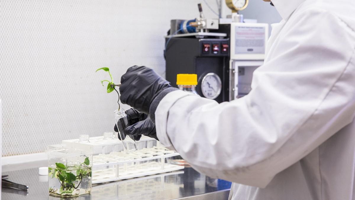 В ходе экспериментов исследователи подтвердили, что ГМ-растения эффективно очищают воздух от опасных соединений всего за несколько дней.
