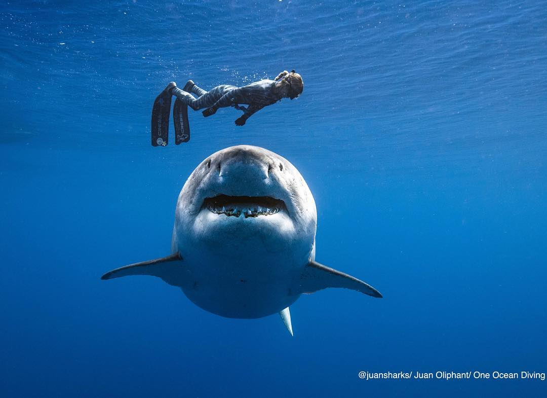 Для аквалангиста, знающего, как себя вести, белая акула не представляет большой опасности.