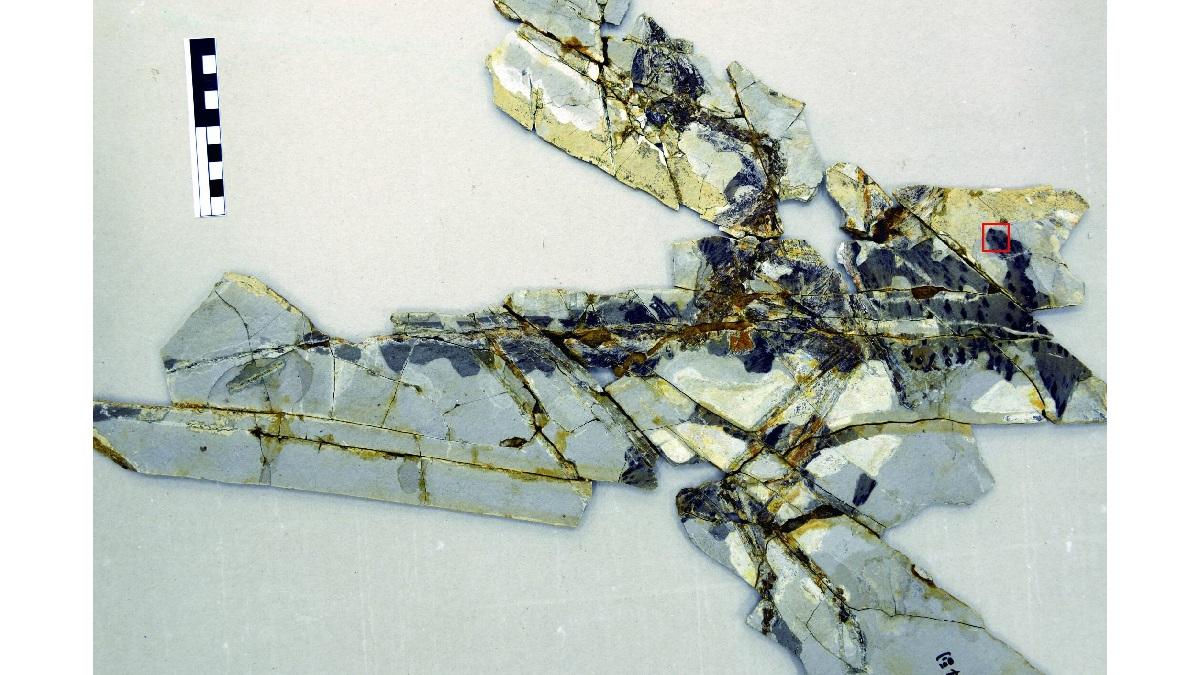 Останки анхиорниса. Из фрагмента, выделенного красной рамкой, были взяты образцы для молекулярного анализа.