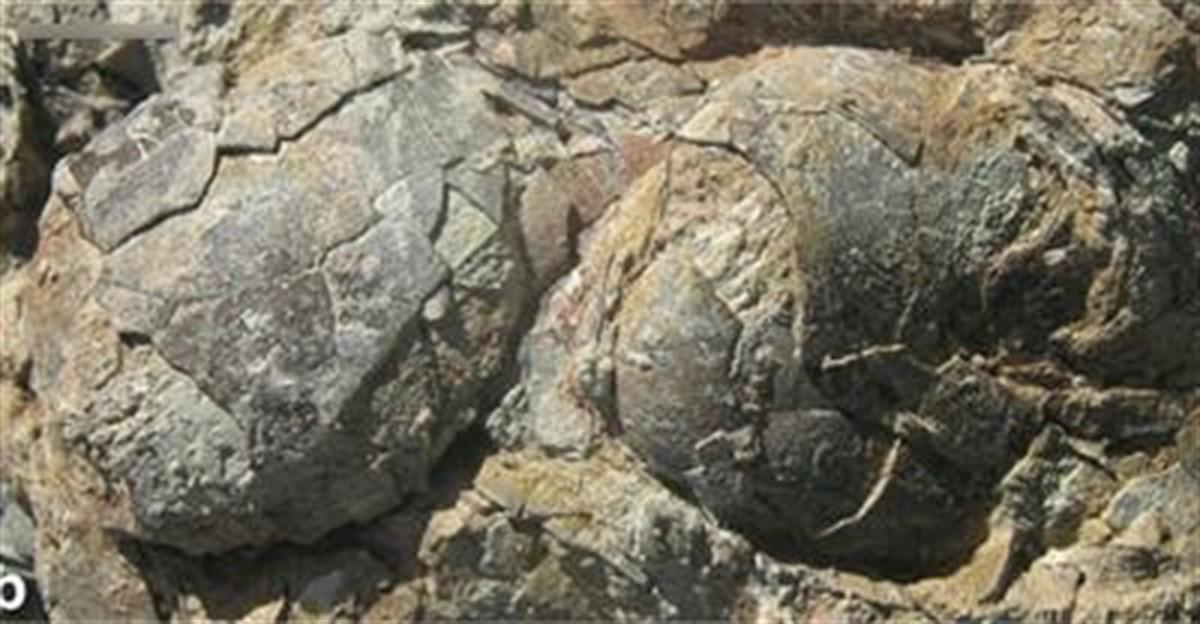 Судя по скорлупе яиц, рядом друг с другом гнездились как минимум четыре вида.
