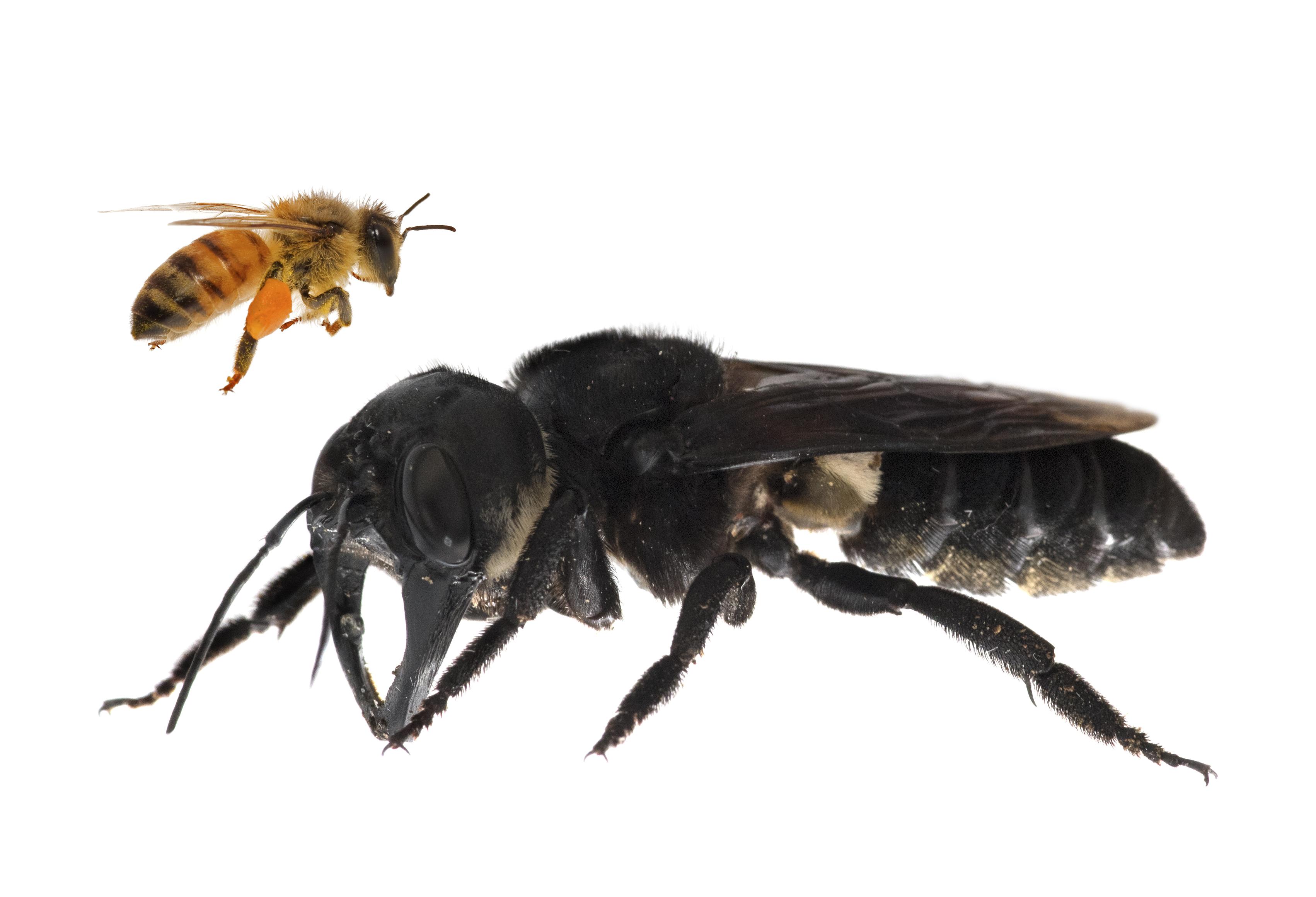 Гигантская пчела Уоллеса, самый большой известный вид пчёл в мире.