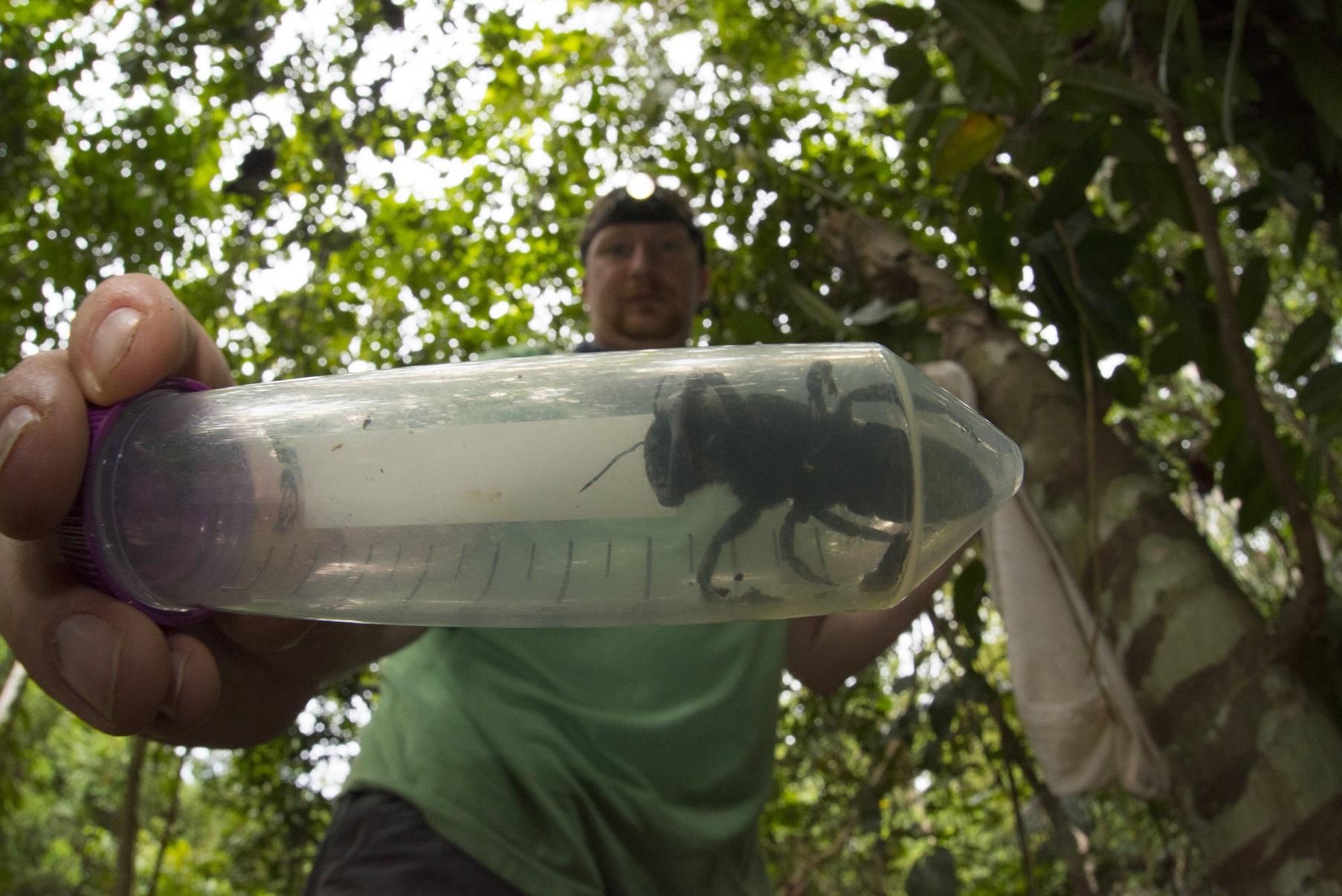Энтомолог Эли Вайман (Eli Wyman) держит особь вновь открытой гигантской пчелы Уоллеса.