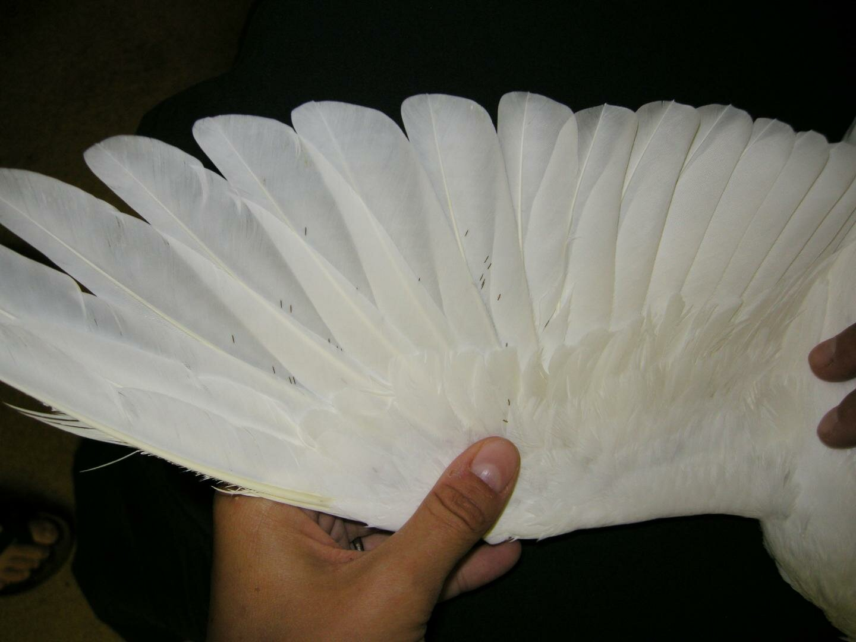 Пухоеды, хорошо заметные на перьях, чаще истребляются голубями.