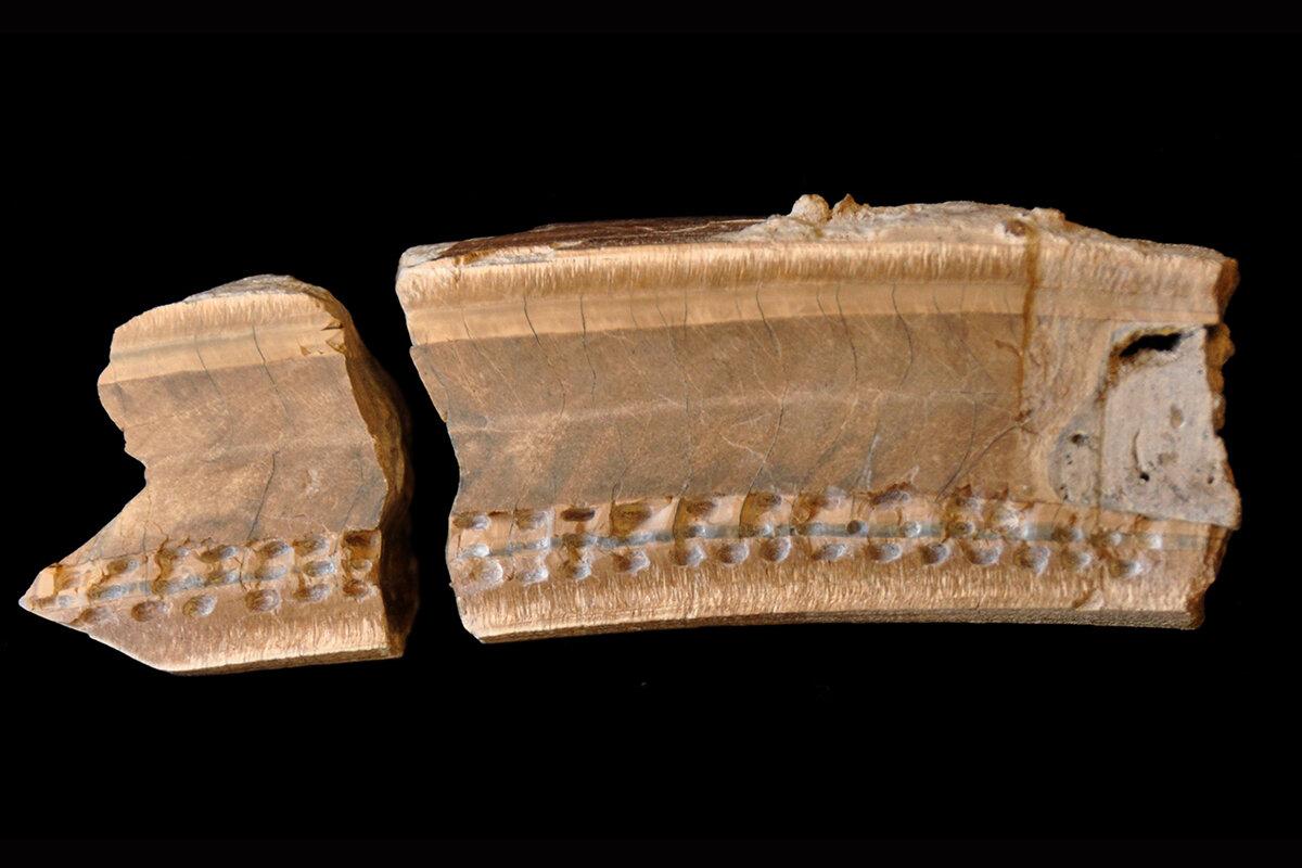 Исследователи проанализировали ткани зуба ленивца. Углубления показывают места, где были взяты пробы для анализа.