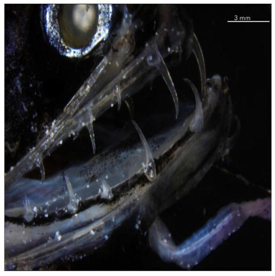 Глубоководные A. scintillans вырастают в длину до 15 сантиметров, но при этом располагаются на вершине пищевой цепи.