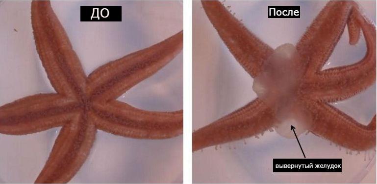 Аналог окситоцина заставляет морских звёзд выворачивать свой желудок.