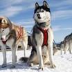 Командную эстафету увидят зрители гонок на собачьих упряжках в поселке Решетиха