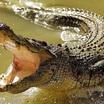 Миссисипский и китайский аллигаторы. Загадки зоогеографии