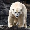 Белый медведь. Осторожный охотник
