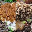 Весной ожидается раняя грибалка: учимся отличать строчки от сморчков!