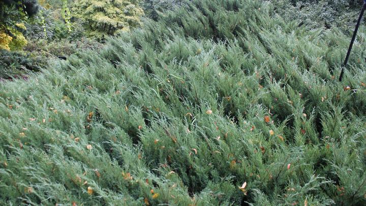 Тут – Calluna vulgaris,вереск обыкновенный.