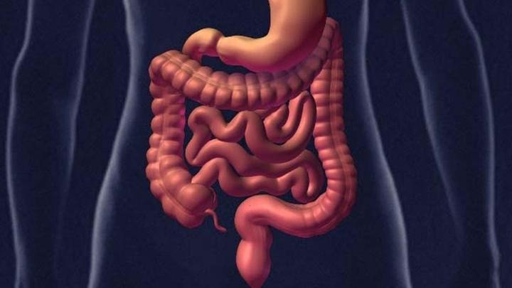 """Работу кишечника большинства животных контролирует так называемый """"второй мозг"""". Учёные выяснили, какие функции он выполняет."""