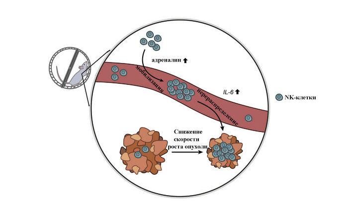 Во время бега в крови у мышей увеличивается количество NK-клеток и сигнального медиатора интерлейкина 6 (IL-6), который направляет лейкоциты на опухоль, замедляя её рост
