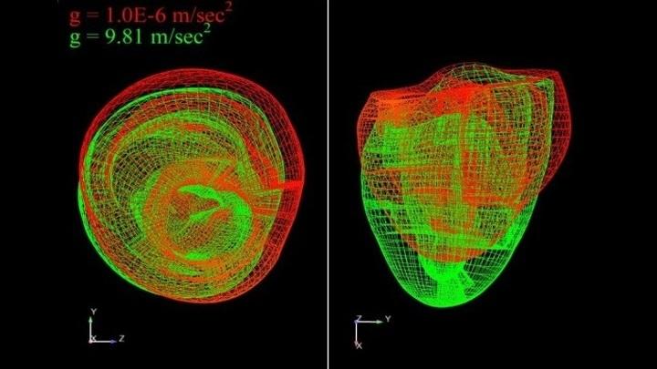 Как изменяется форма сердца: на Земле (зелёный цвет) и в условиях микрогравитации (красный цвет).