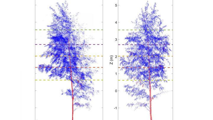 В ночное время (слева) ветви деревьев свисают больше, чем в течение дня (справа). Это видно даже невооружённым взглядом.